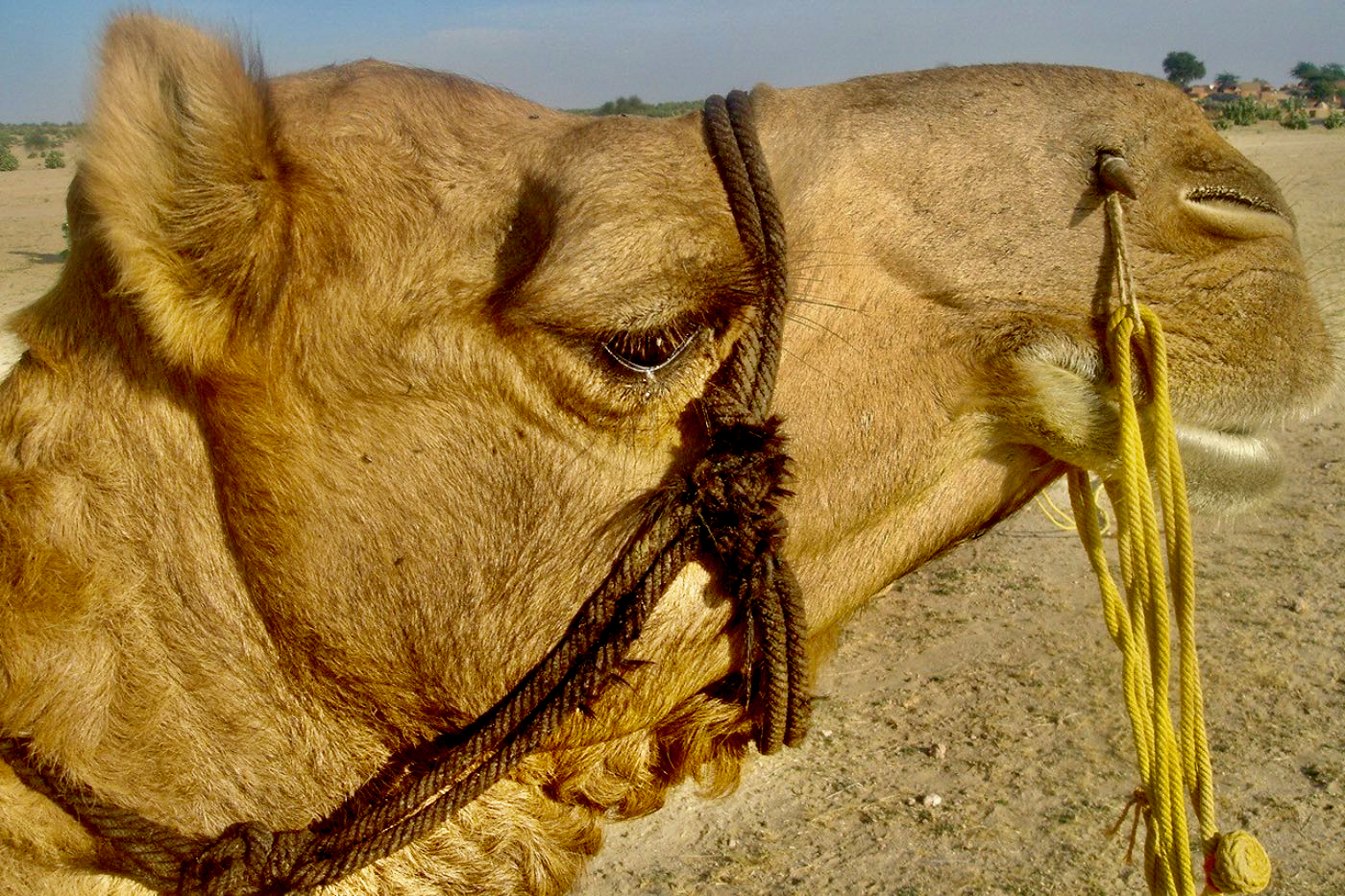 Camel Desert Camp in Jaisalmer Rajasthan India